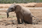 Dave grew up in Africa--and he doubts this elephant is truly stuck.But let's just pretend he is, okay?